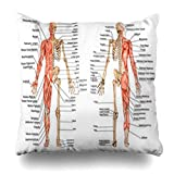 Decor Champ Throw Pillow Covers Didactic Human Skeleton Posterior Anterior View Anatomy Medically Science Bone from Board Bony Home Decor Sofa Pillowcase Square Size 20 x 20 Inches Cushion Cases