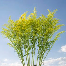 GlobalRose 120 Fresh Cut Aster Solidago Flowers - Fresh Flowers Wholesale Express Delivery by GlobalRose (Image #2)