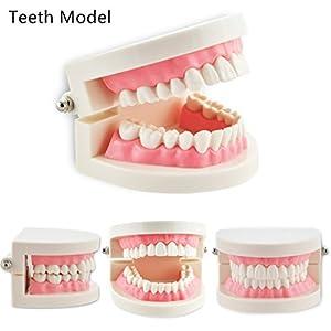Pevor Dental Teaching Study Adult Standard Typodont Demonstration Teeth Model 2