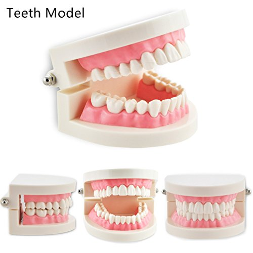 Pevor Dental Teaching Study Adult Standard Typodont Demonstration Teeth (Teeth Demonstration Model)