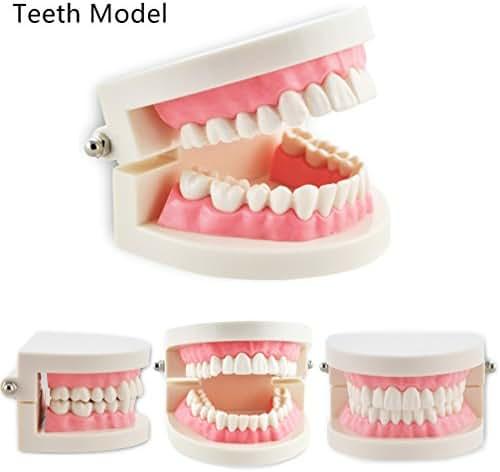 Pevor Dental Teaching Study Adult Standard Typodont Demonstration Teeth Model