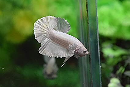 Amazon com : Plakat Betta Fish White Platinum HMPK Male : Pet Supplies