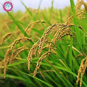 Vistaric 50 unids semillas de arroz. Semillas de cereales sanas no modificadas genéticamente. Notas chinas Semillas de cultivos de arroz para granjas agrícolas Generic