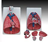Model Anatomy Professional Medical Larynx Heart Lung IT-056 ANGELUS