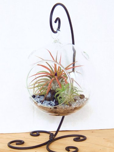 Air Plant Terrarium Kit with 2 Tillandsia Air Plants, Black and Silver Rocks and Black Metal Stand / 5'' Round Glass by Bliss Gardens