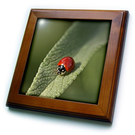 3dRose ft_209378_1 Convergent Ladybird Beetle on Cleveland & Sage, Southern California Framed Tile, 8 by 8