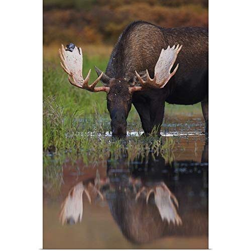GREATBIGCANVAS Poster Print Entitled Bull Moose Walks Through A Pond in Denali National Park, Interior, Alaska by Milo Burcham 12