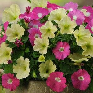 Pink Lemonade Petunia Seeds ()