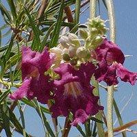 (Desert Willow Seeds - Chilopsis linearis)