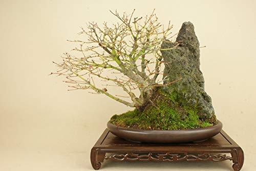 山モミジ 石付 中品盆栽 (いよじ園) B07LCFPRGJ