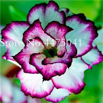 Seed - NOT Plant - Best Quality - Bonsai 5 Pcs Desert Rose Bonsai Flower, Garden Home Pot Balcony Adenium Obesum Bonsai Flowerpots Plant (Mixed Color) - by SeedWorld - 1 PCs