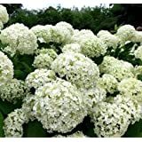 Bauernhortensie First White 40-60cm - Hydrangea macrophylla