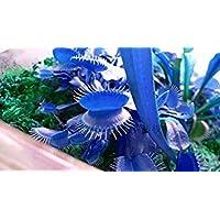 Clip Shopvise 500Pcspromotion azul gigante del Dionaea del atrapamoscas de Venus Semillas Semillas Bonsai semillas de…