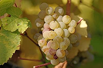 Vitis vinifera Reisling WINE GRAPE Seeds!