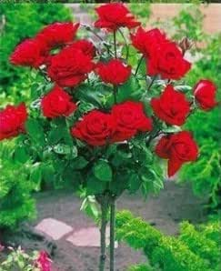 100 seeds rare rose tree seeds Chinese rose seeds, color bonsai tree roses , plant