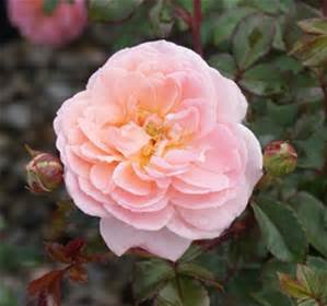 Apricot Drift Rose, 1 GAL