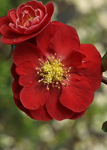 'Double Take Scarlet Storm Flowering Quince – Chaenomeles – Hardy - Perennial - Quart Container - Healthy - 1 Plant by Growers Solution