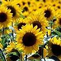 Outsidepride Sunflower - Wild