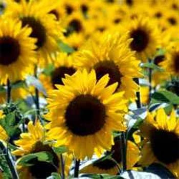 sunflower seed plants - 8