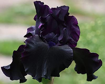 SUPERSTITION GERMAN BEARDED REBLOOMING IRIS (1) Rhizome/Bulb/Root Ready for Planting Now