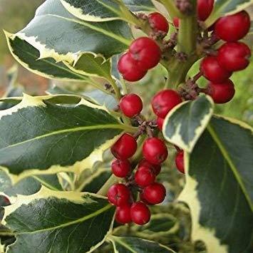(IDEA HIGH Ilex aquifolium Madam Briot - Variegated Holly - Plant in 9cm Pot)