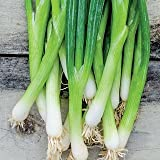 UNUSUAL RARE FRENCH heirloom heritage SCALLION EVERGREEN WHITE BUNCHING SPRING ONION 100 seeds. Certified French organic grower