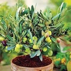 10 Seeds Dwarf Olive Tree Indoor/outdoor Plant