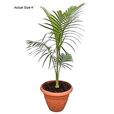 AchmadAnam - Live Plant - King Palm - 1 Plant - 2 Feet Tall - Ship in 1 Gal Pot. E9 : Garden & Outdoor