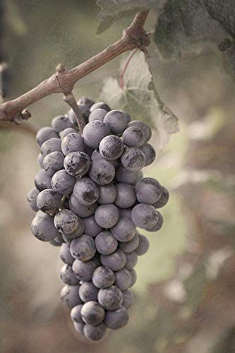 Cabernet Franc Grapes, Bolgheri, Italy - Fine Art Photography - Winery Photography - Italian Print - Home Decor