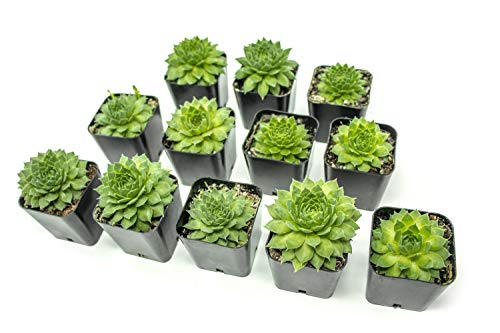 Violet Rosette - Fractal Succulents (12 Pack) Live Sempervivum Houseleek Succulent Rooted in Pots | Flowering Plant Leaves / Geometric Rosettes by Plants for Pets