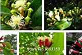 Fash Lady 100pcs/bag Lilac Seeds syzygium aromaticum Flower Seeds for DIY Home Garden Flowers Garden Bonsai Plant