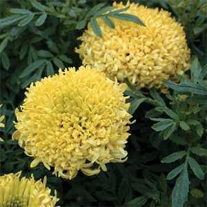 Outsidepride Marigold Yellow - 1000 Seeds