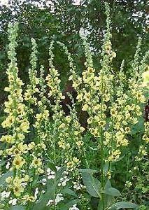 - Verbascum (Mullein) chaixii Sixteen Candles 2,000 Seeds