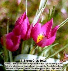 Pink Species Tulips Pulchella Violacea - 10 robust bulbs - 5+ cm Miniature Tulip