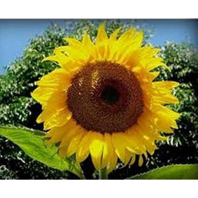 Tiyuki Sunflower, Mammoth Russian, 100 Seeds Organic Newly HARVESTED, 7-10 Foot Tall : Garden & Outdoor