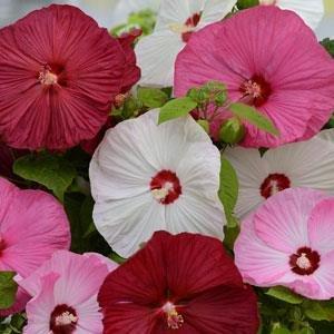 (Hibiscus moscheutos Mix PERENNIAL Smashing 9