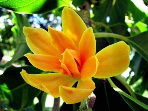 Amazon Com 5 Orange Magnolia Seeds Lily Flower Tree Fragrant