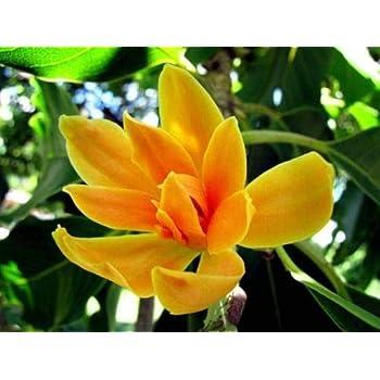 Amazoncom 5 Orange Magnolia Seeds Lily Flower Tree Fragrant Tulip