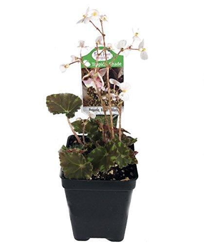 bowers-black-begonia-plant-25-pot-terrarium-fairy-garden-house-plant