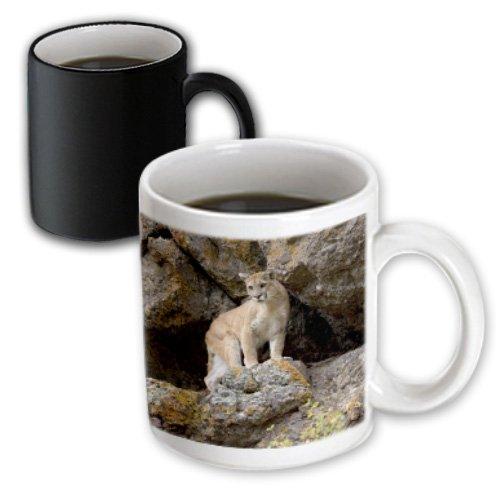 3dRose mug_92058_3 Puma, Yellowstone Np, Montana Us27 Jmc0006 Joe and Mary Ann Mcdonald Magic Transforming Mug, 11-Ounce