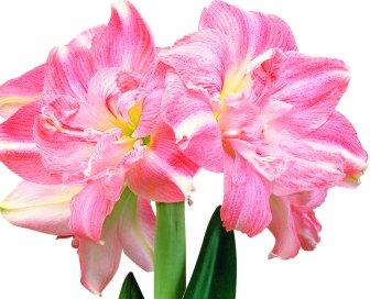 blooming bulbs - 6