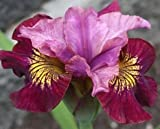 (3) Miss Apple Siberian Iris Roots, Bulbs, Great for any Garden, Great as a Houseplant