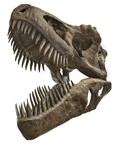 - hBARSCI Incredible Life Size Tyrannosaurus Rex Skull Replica, Mounted on Wooden Base - 5 ft Long, 3 ft Wide, 4.5 ft Tall (250 lbs) - Full Size Fossil Replica, Exquisite Detail and Realism