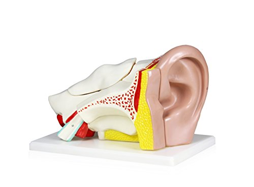 Parco Scientific B10402-5 Human Ear Model, 5 - Of Parts Ear The Labeled