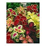 "Seeds and Things Coleus ""Rainbow Mixture"" (Solenostemon scutellarioides) 200+ Seeds"