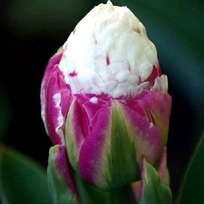 Image result for ice cream tulip