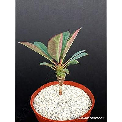 Euphorbia Pachypodioides Madagascar Succulent Cactus Cacti 4 Inc Plant ecc03 : Garden & Outdoor