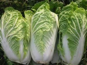Napa Cabbage Michili (Barrel Head Type) Seeds - 200 Seeds ()