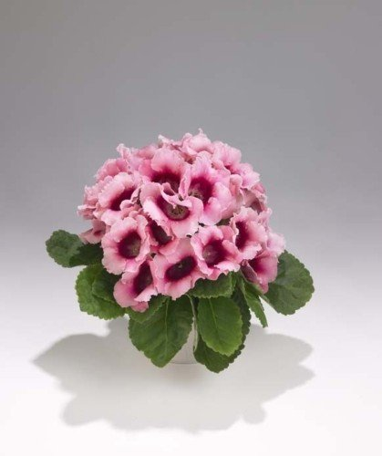 Amazon 25 Gloxinia Bi Color Pink Empress Flower Seeds For