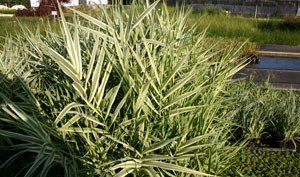 POND PLANT, REED VARIEGATED GIANT ()